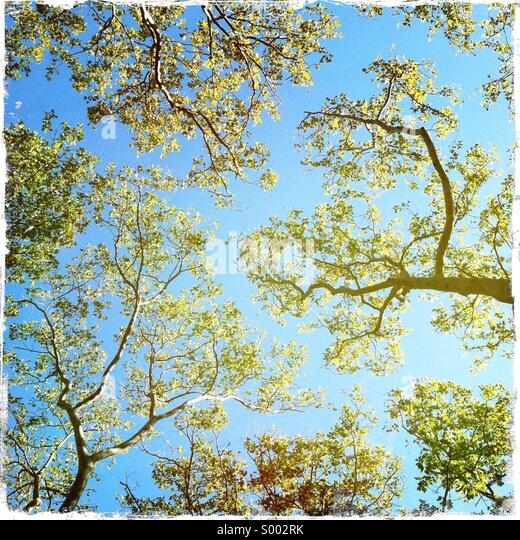 Looking up thru fall trees - Stock-Bilder