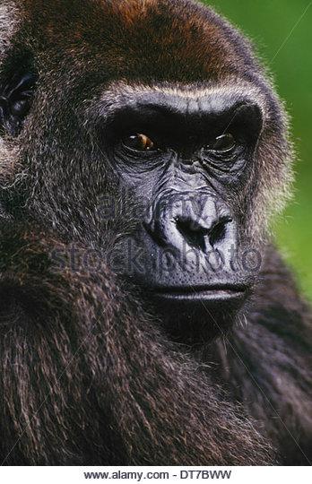 Lowland gorilla Gorilla gorilla Native to Congo (DRC) Congo - Stock-Bilder