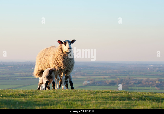 Lambs suckling from a ewe on a hillside in the english countryside - Stock Image