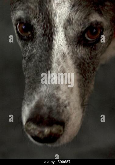 Dog, Catahoula, Breed, Face, Looking at Camera, Pet, Animal, Domesticated, Eyes, Close-up, No People - Stock Image