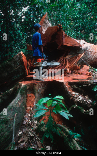 Conservation Issues Cutting down a rainforest tree Borneo - Stock Image