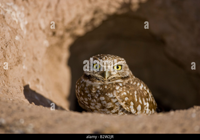 Burrowing owl at entrance of den - Stock Image