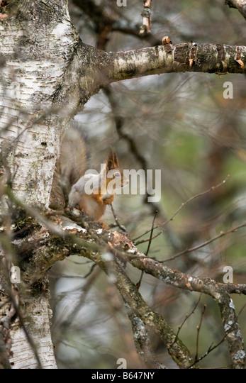 Finland, Ruhtinansalmi, near Suomussalmi, Wildlife Centre Martinselkonen Erakeskus. Eurasian red squirrel. Sciurus - Stock-Bilder