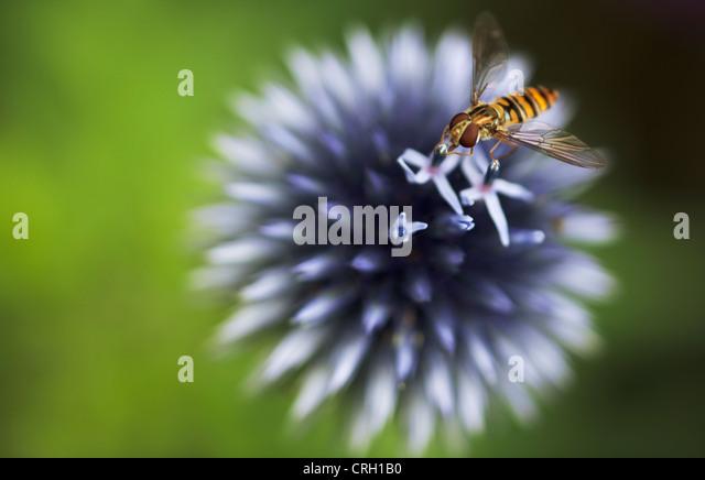 Echinops ritro, Globe thistle - Stock Image