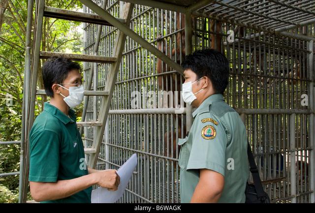 Orangutan rehabilitation in sumatra essay