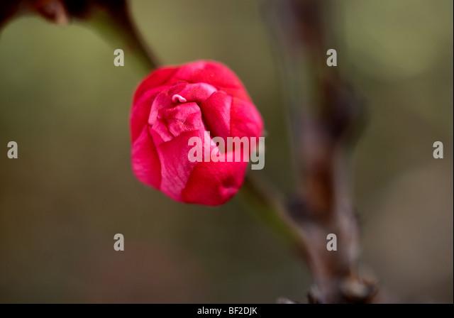Ornamental peach tree, tree bud, bud, peach tree, pink, branch, green background, oriental, macro, close-up, close - Stock Image