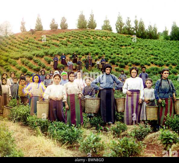 Group workers harvesting tea Greek women Chakva Caucasus Black Sea area Russian Empire between 1905 and 1915 - Stock-Bilder