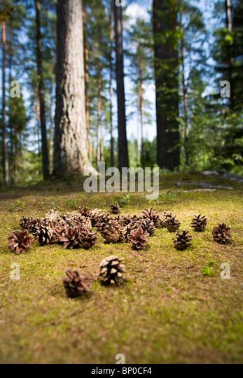 Pine cones on forest floor - Stock Image