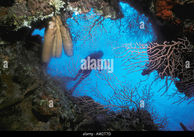 Underwater scuba diver framed in opening of coral cave filled with soft gorgonian corals - Stock Image