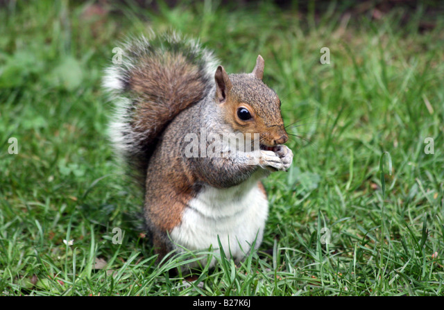 Grey Squirrel eating nuts sitting on grass - Stock Image