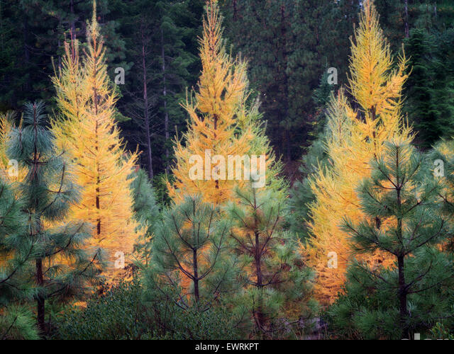 Fall colored Larch and Ponderosa Pine trees. Washington - Stock Image