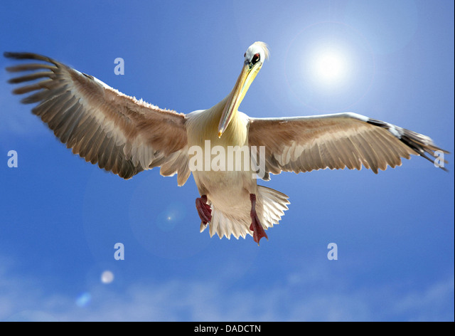 eastern white pelican (Pelecanus onocrotalus), flying - Stock Image