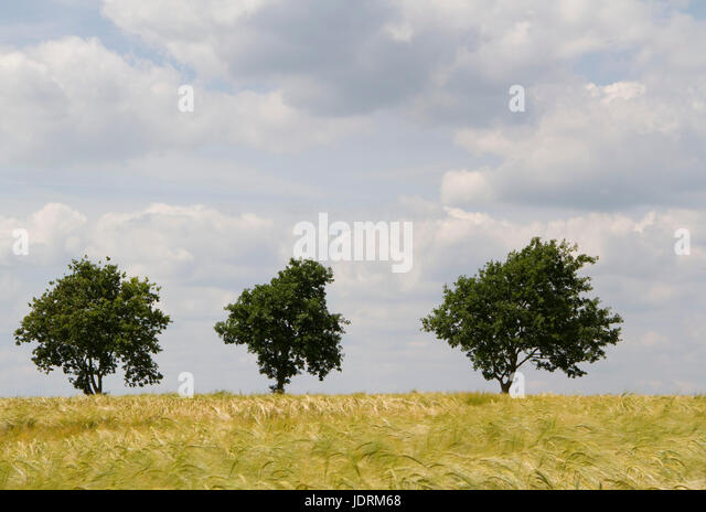 Group of three small trees in a Suffolk field - Stock Image