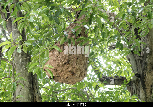wasp swarm stock photos   wasp swarm stock images alamy nexton homes for sale nexton homes summerville sc