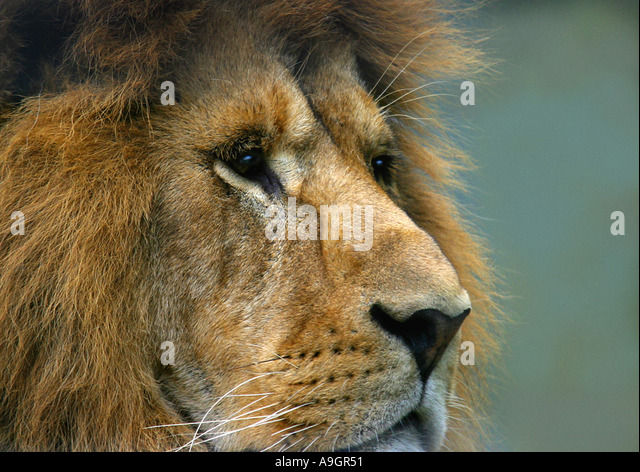 lion (Panthera leo), portrait of a male lion - Stock Image