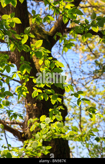 Bright new Hazel leaves against a tree trunk background with blue sky - Stock Image