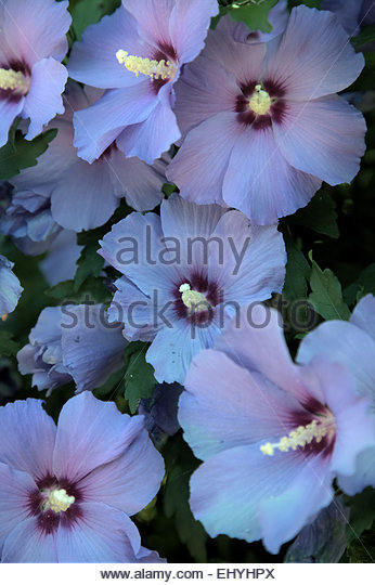 hibiscus syriacus 39 oiseau bleu 39 stock photos hibiscus. Black Bedroom Furniture Sets. Home Design Ideas