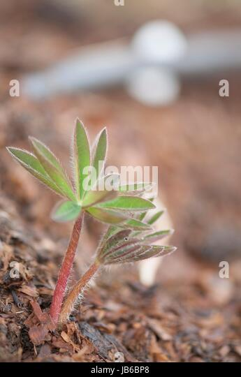 Young lupin (Lupinus sp.) plant. - Stock-Bilder