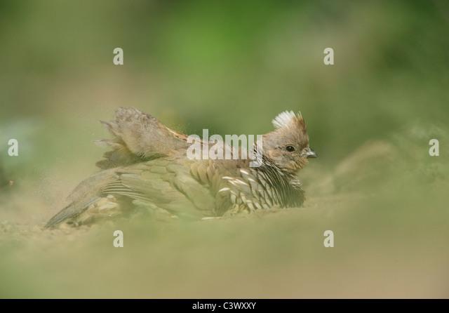 Scaled Quail (Callipepla squamata), male dust bathing, Laredo, Webb County, South Texas, USA - Stock Image
