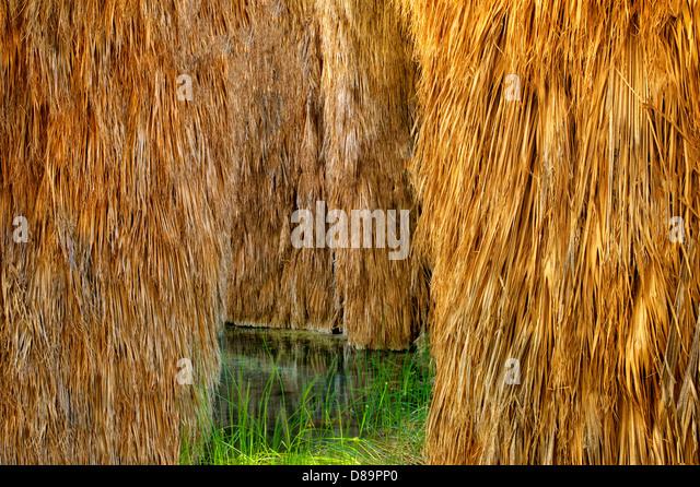 Palm trees at McCallum Pond. Coachella Valley Preserve. California - Stock Image