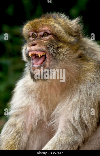 Roaring Barbary Macaque monkey from France Alsace Kintzheim - Stock Image