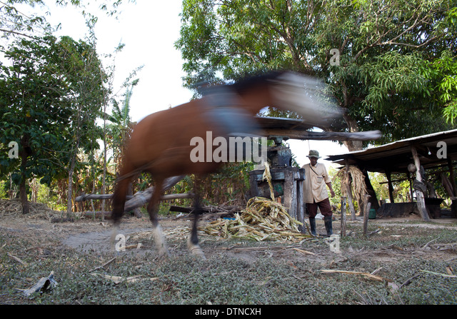 Horse walking in circle to give power to a sugarcane-juice machine, near Penonome, Cocle province, Republic of Panama. - Stock-Bilder