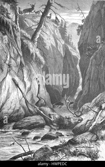 Deer has crashed after a battle on the rock and lies dead in the Creek, Reproduction of an original woodcut from - Stock Image