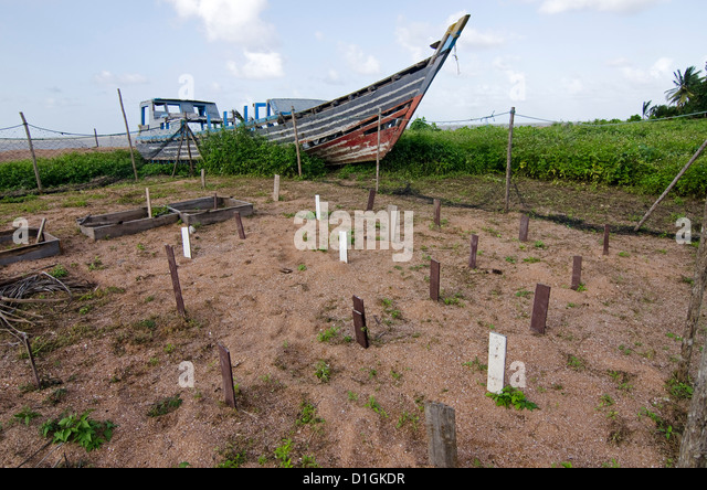 Hatchery at the research centre, each wooden stake marking a buried clutch of eggs, Shell Beach, Guyana - Stock Image
