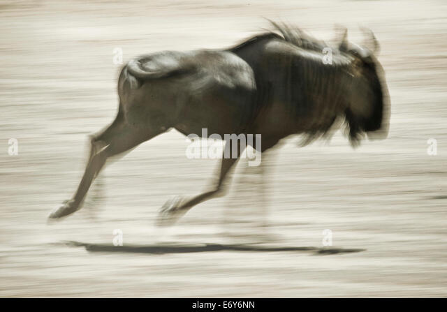Wilderbeest running, Etosha National Park, Namibia, Africa - Stock Image