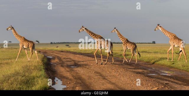 Four giraffes crossing a road on the savanna in Masai Mara, Kenya, Africa - Stock Image