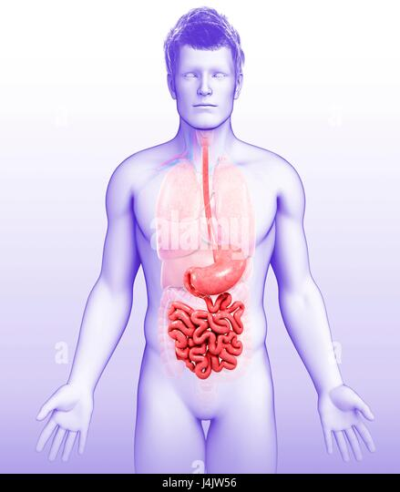 Illustration of male stomach and small intestine. - Stock-Bilder