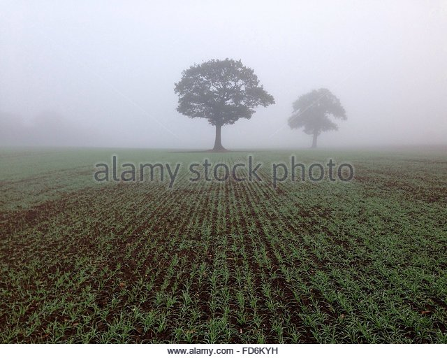 Trees In Foggy Field - Stock Image