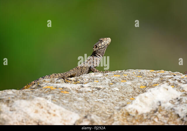 Agama lizard basking in the sun - Stock Image