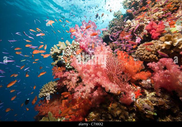 Colorful Coral Reef, Namena Marine Reserve, Fiji - Stock Image