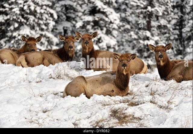 A herd of female elk - Stock Image