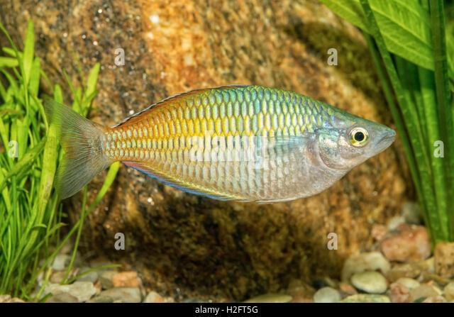 Melanotaenia stock photos melanotaenia stock images alamy for Freshwater rainbow fish