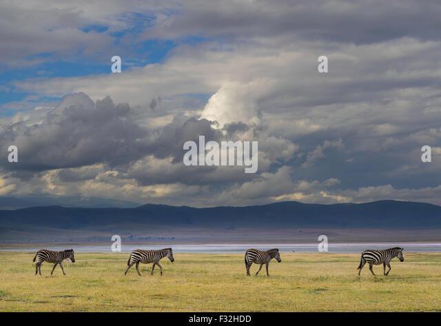 Tanzania, Arusha Region, Ngorongoro Conservation Area, zebra (equus burchellii) - Stock Image