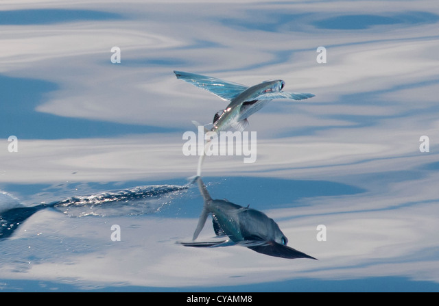 Flying fish stock photos flying fish stock images alamy for Flying fish name