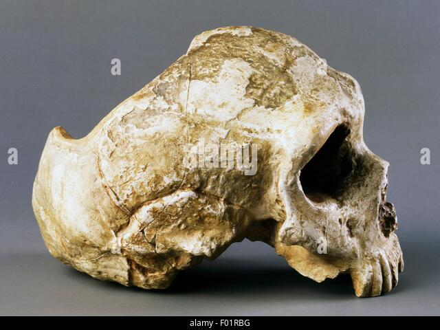Neanderthal Skull Stock Photos & Neanderthal Skull Stock ... Homo Sapiens Neanderthalensis Skull