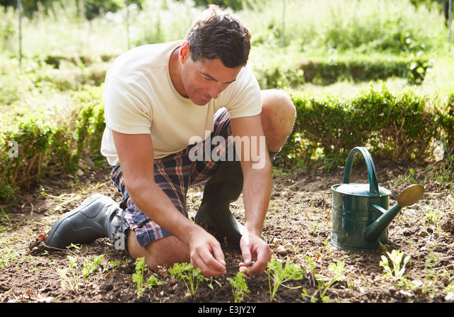 Man Planting Seedling In Ground On Allotment - Stock Image