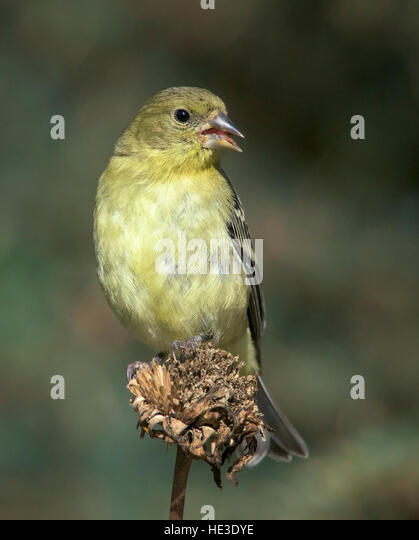 Lesser Goldfinch (Spinus psaltria), female, perched - Stock Image