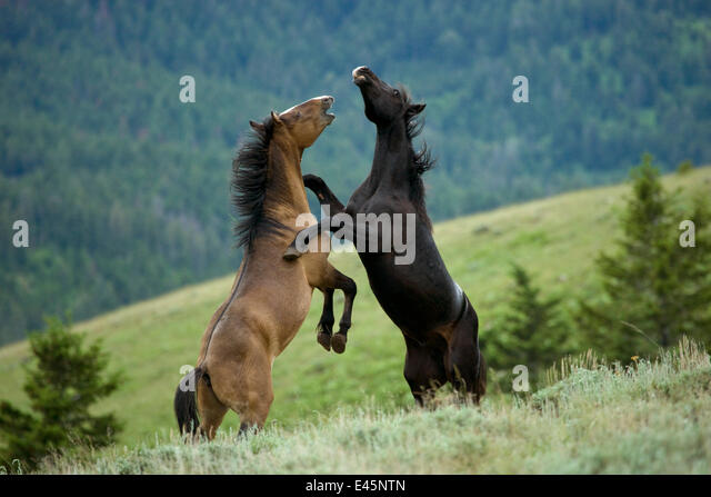 Wild horse / mustang (Equus caballus) two young mustangs play-fighting in the Pryor Mountains, Wyoming, USA. - Stock-Bilder