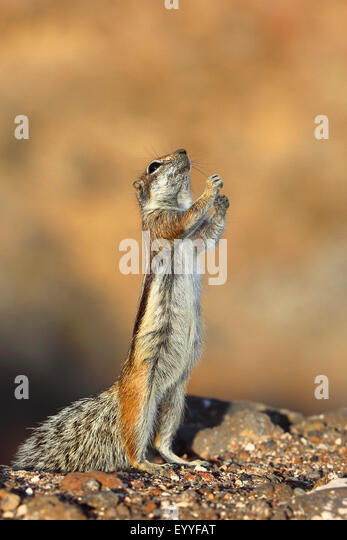 barbary ground squirrel, North African ground squirrel (Atlantoxerus getulus), stands on its hind legs, Canary Islands, - Stock Image