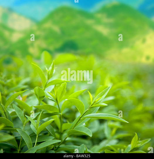 Bush of green tea - Stock-Bilder