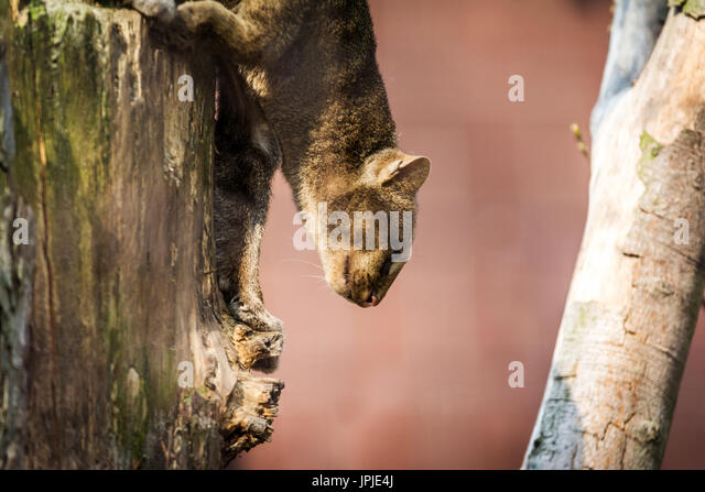 Little cats predator named the Jaguarundi (Puma yagouaroundi)  from america. Wildlife animal. - Stock Image