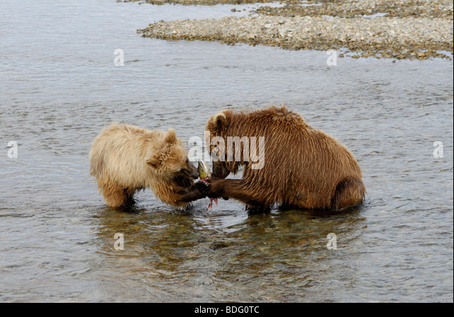 Brown bear or grizzly bear, Ursus arctos horribilis, sow sharing salmon with cub. - Stock Image