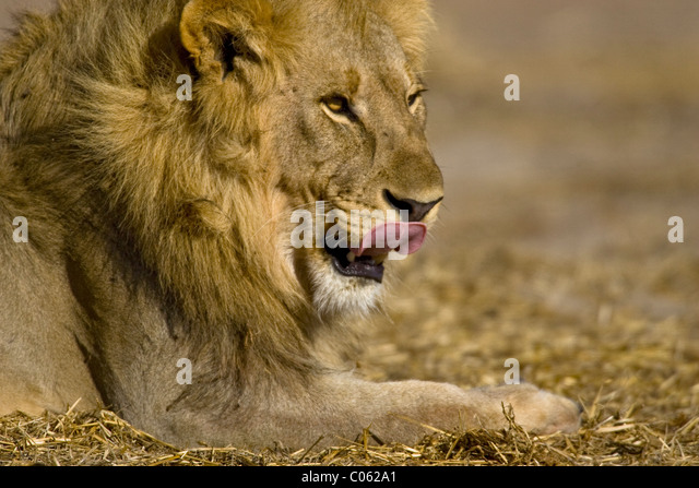 Male lion licking his lips, Etosha National Park, Namibia - Stock-Bilder