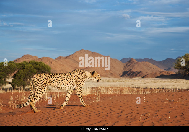 Cheetah (Acinonyx jubatus) with desert landscape in back ground. Namibia. - Stock-Bilder