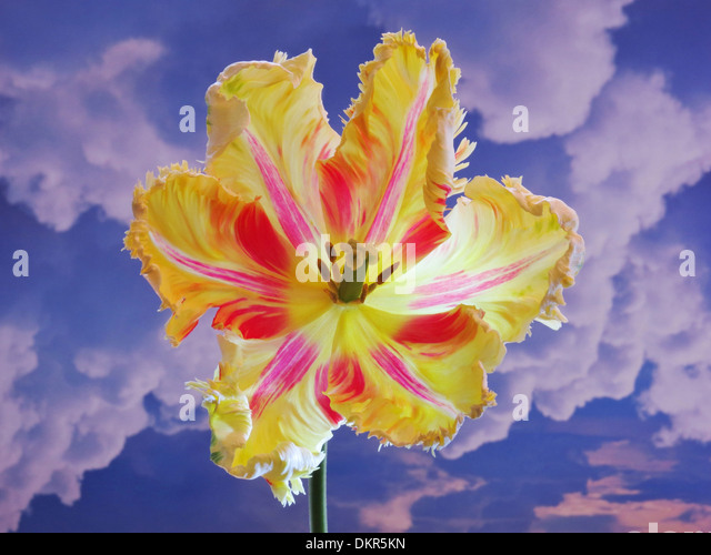 Flowers, plants, tulip, red, yellow, blossom, flourish, flower cup, sky, clouds, Cumulus, concepts, - Stock-Bilder
