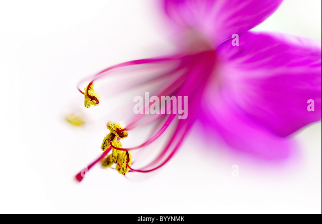 Geranium flower super macro ,  shallow depth of field - Stock Image